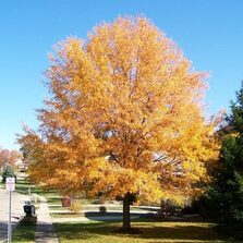 Willow Oak in Fall