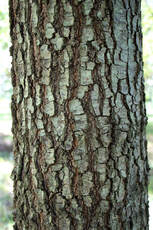 Willow Oak Bark